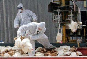 חשד שפעת העופות - עין צורים