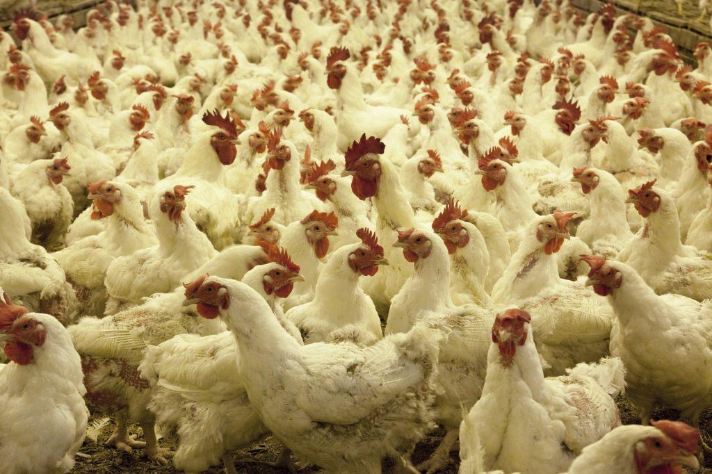 לא רק לגדל עופות איכותיים: גם הנושא הכלכלי חשוב
