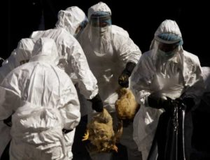 מכתב למגדלי העופות - התפרצות סלמונלה טיפימוריום