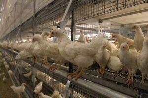 התנהגות טבעית של העופות: יכולת לעוף ולטפס לתאים (צילום: דני בלר)